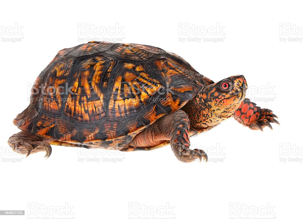 Male Eastern Box Turtle stock photo