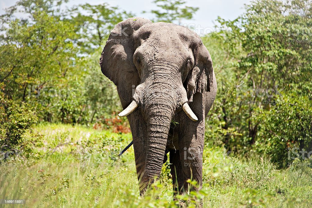 male elephant royalty-free stock photo