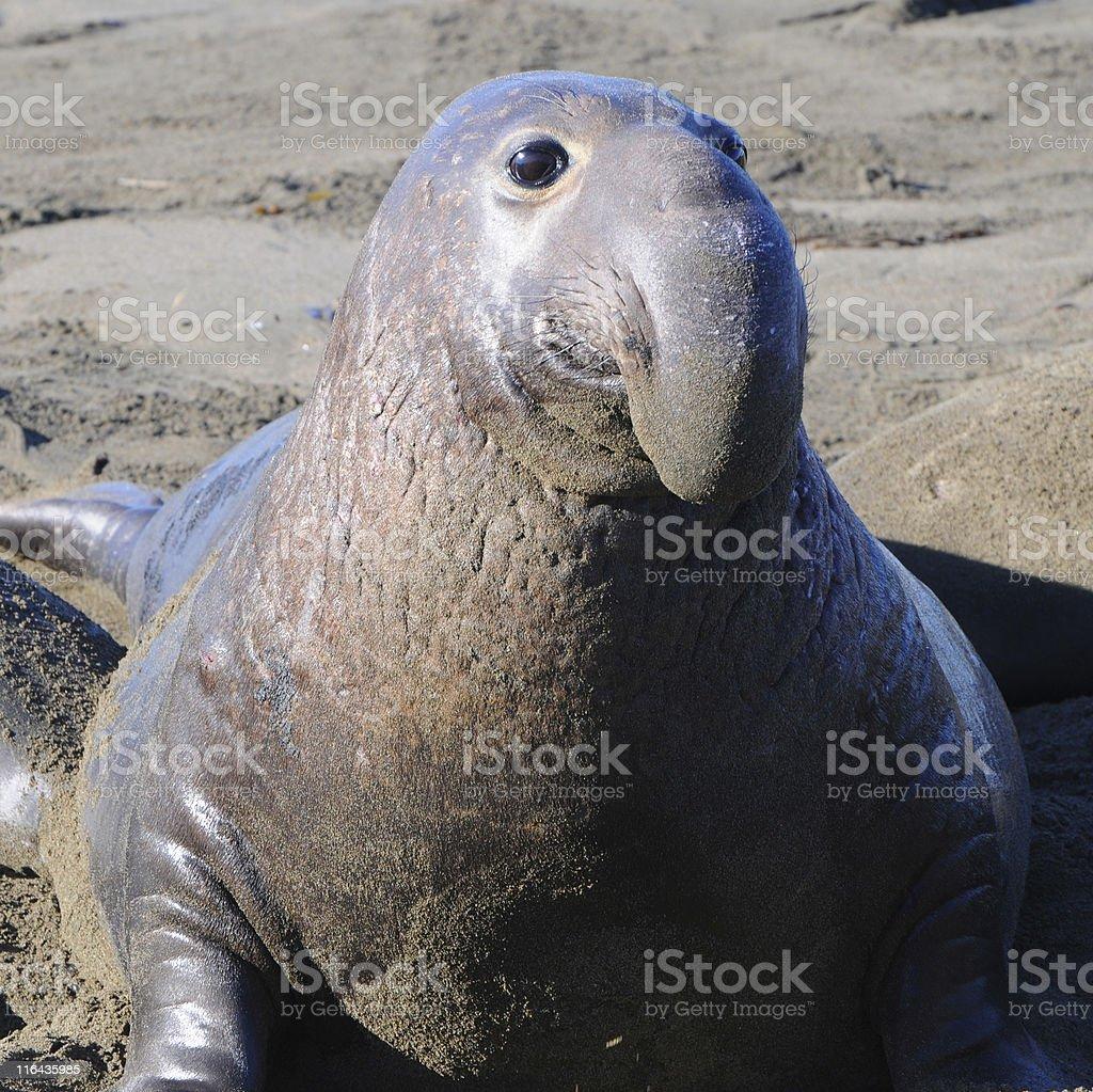 male elephant seal, Mirounga angustirostris stock photo
