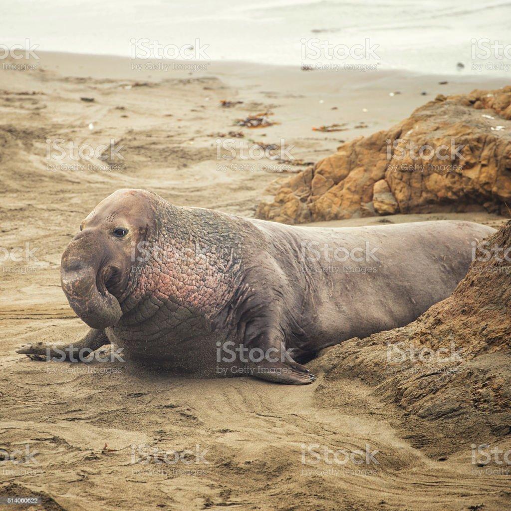 Male elephant seal on beach stock photo