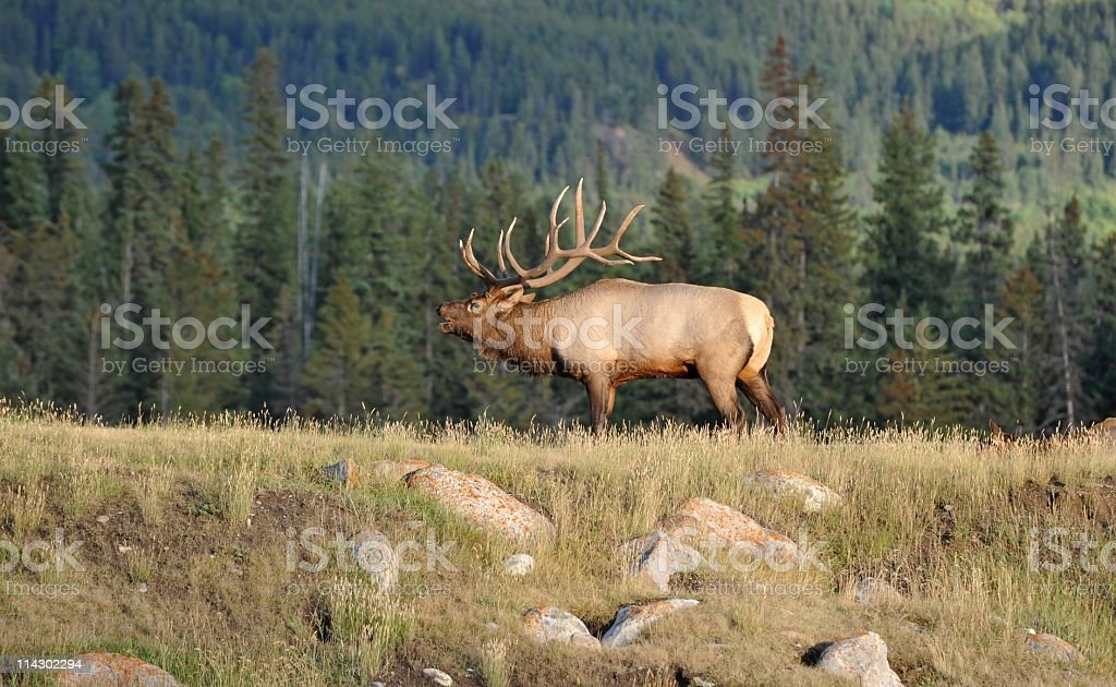 Male elk bugling in rutting season,Jasper National Park,Canada stock photo