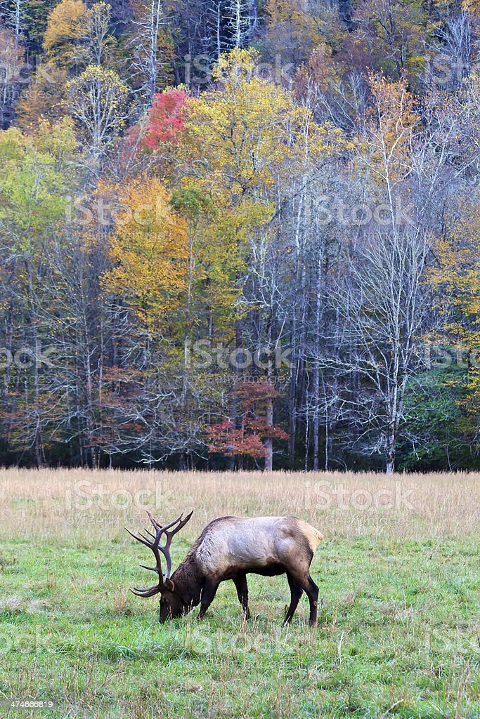 Male Elk in an Autumn Field stock photo