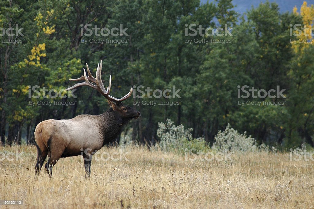 Male Elk in Waterton National Park stock photo