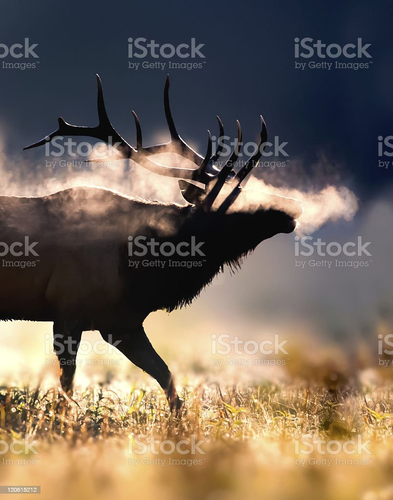 Male Elk on cold morning stock photo