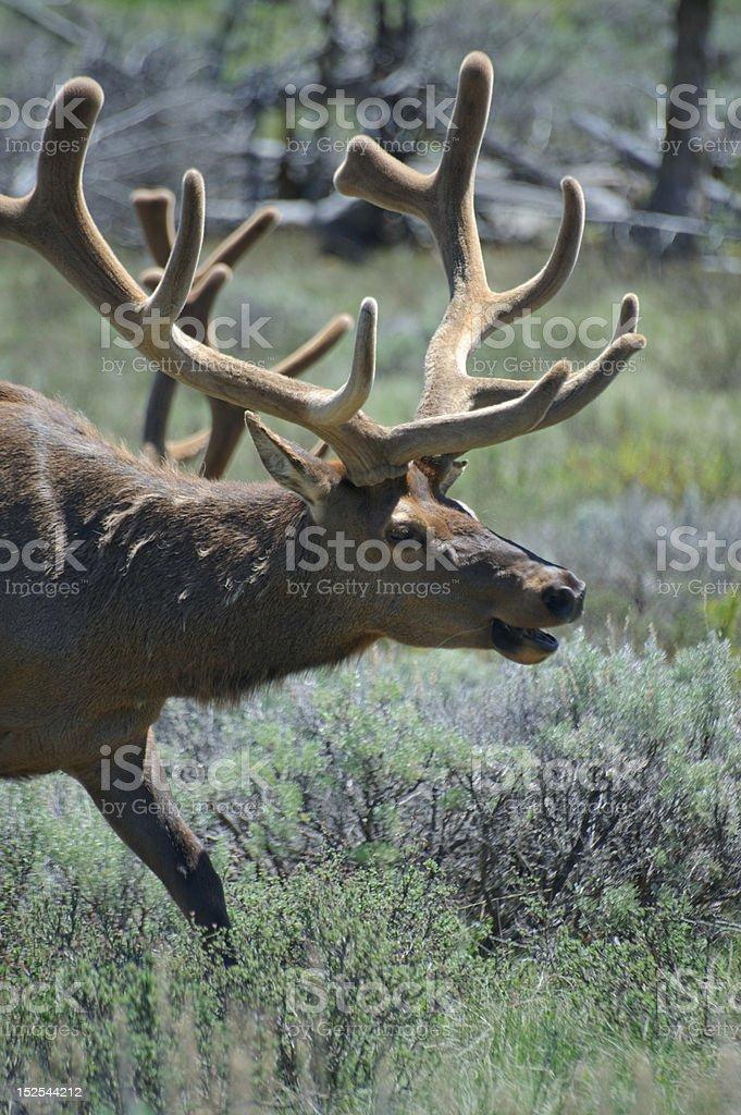 Male elk royalty-free stock photo