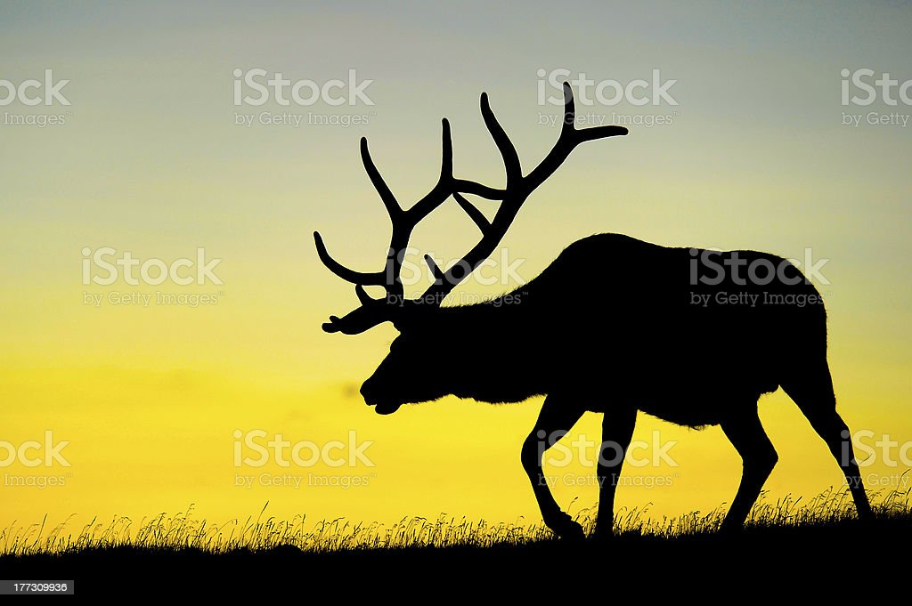 Male elk silhouette at dusk stock photo