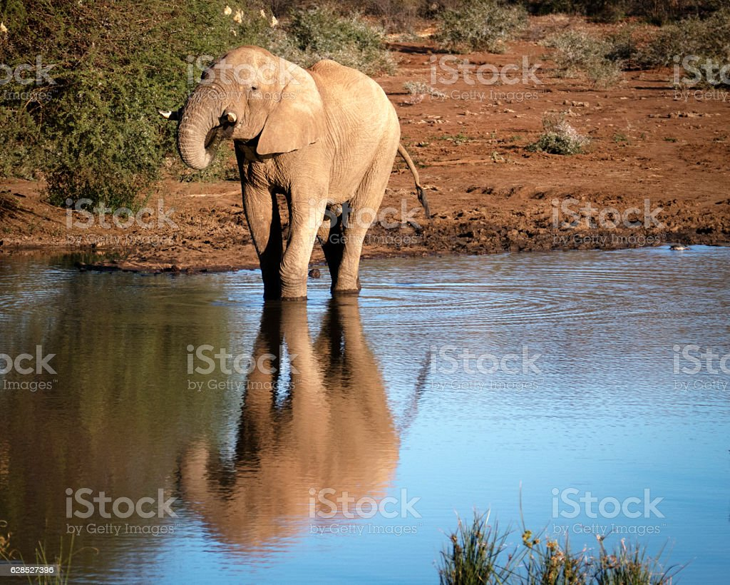 Male elphant  drinking at the waterhole, Madikwe,South Africa. stock photo
