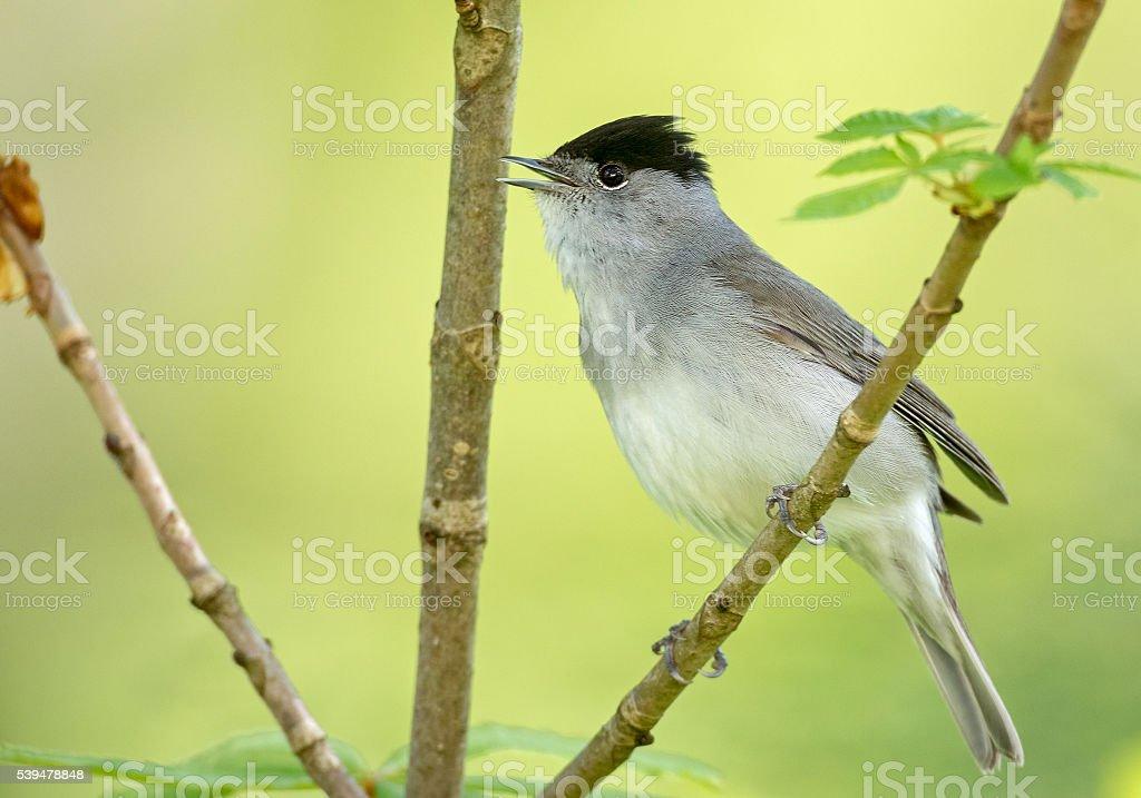 Male Eurasian blackcap (Sylvia atricapilla) singing stock photo