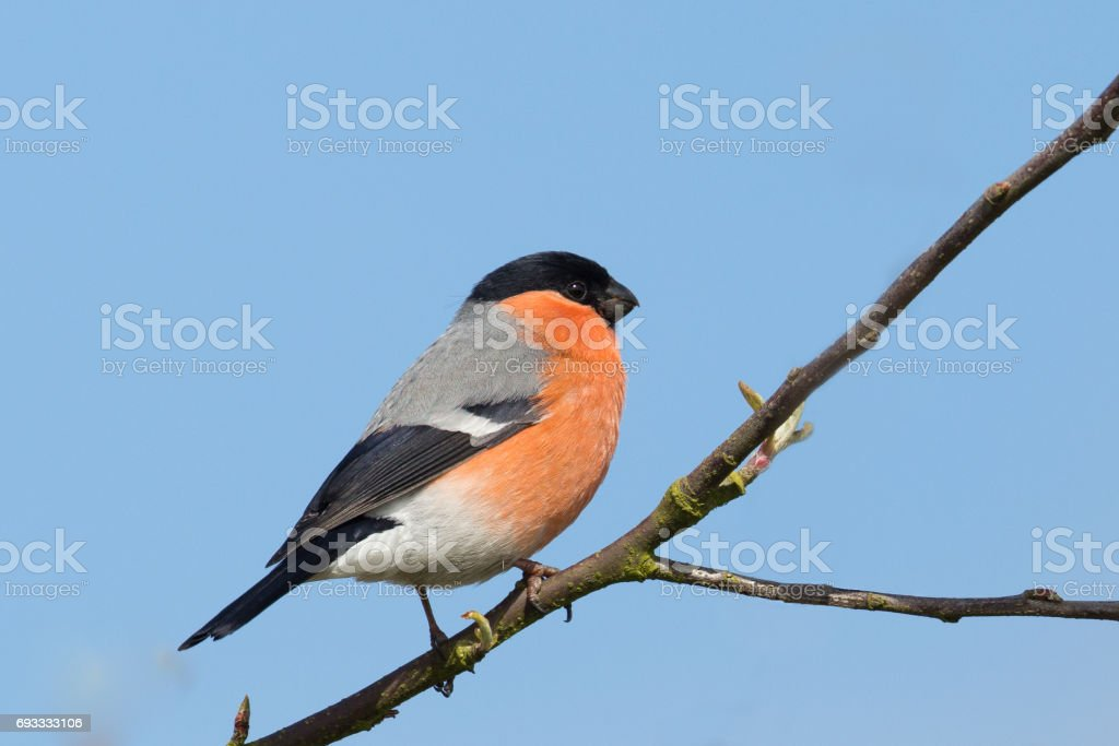 Male Eurasian Bullfinch perched stock photo