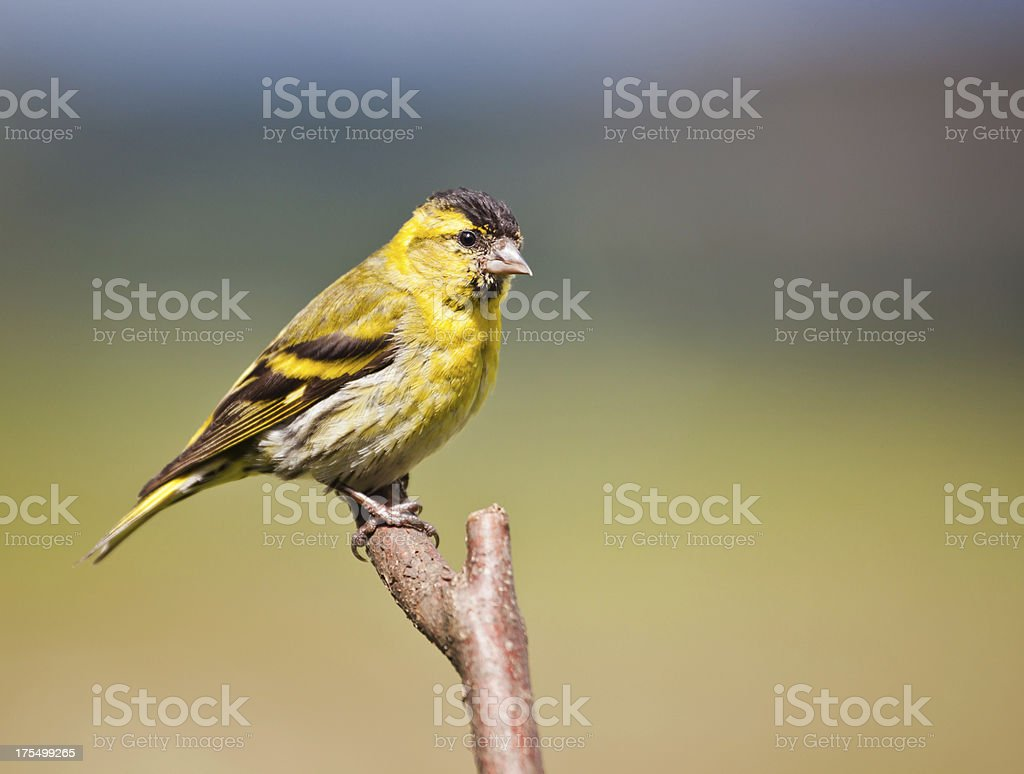 Male Eurasian Siskin (Carduelis spinus) perched on a branch stock photo