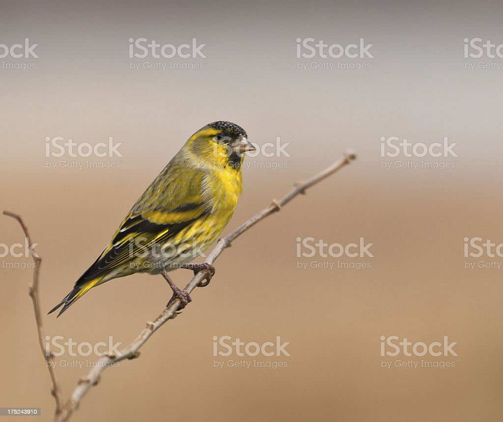 Male Eurasian Siskin (Carduelis spinus) perched on a twig stock photo