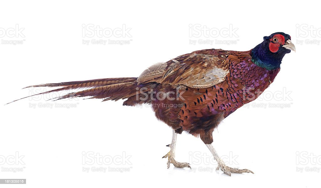 Male European Common Pheasant royalty-free stock photo