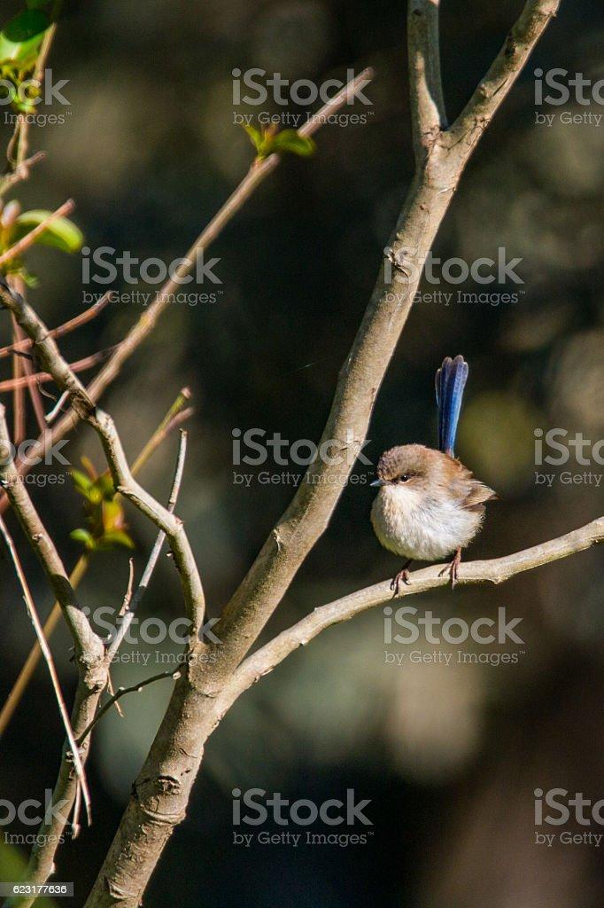 Male Fairy Wren non breeding plumage stock photo