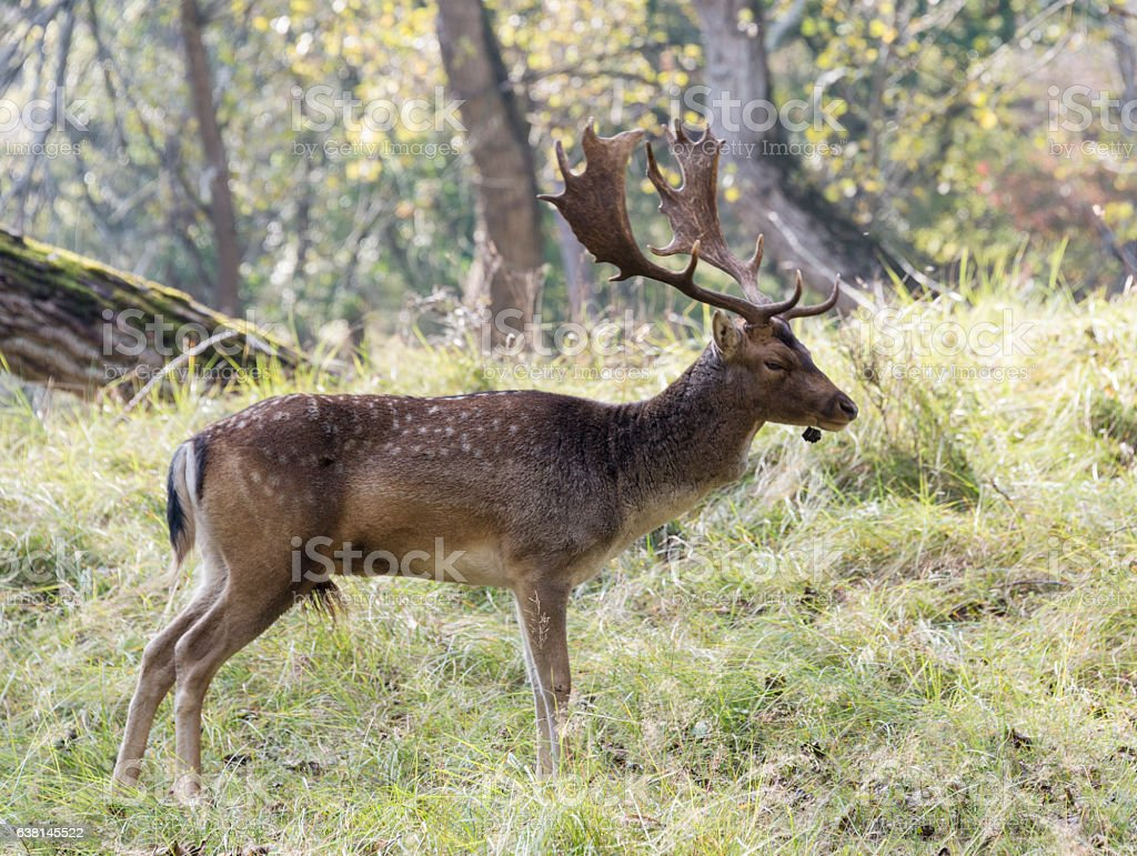 male fallow deer with big antlers stock photo