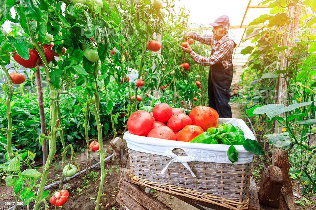 Male farmer picking vegetables from his garden stock photo