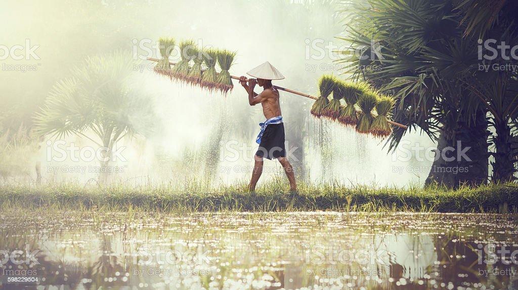 Male farmers grow rice in the rainy season. stock photo