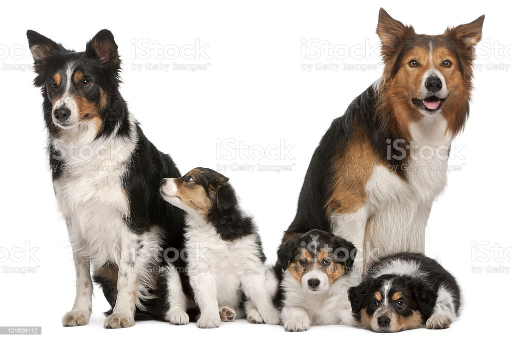 Male, Female and puppies, Border Collie, white background. royalty-free stock photo