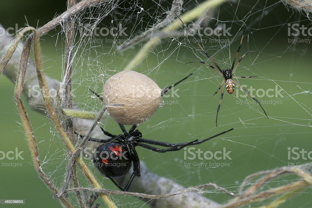 Male & Female Black Widow Spider with Egg Sac stock photo