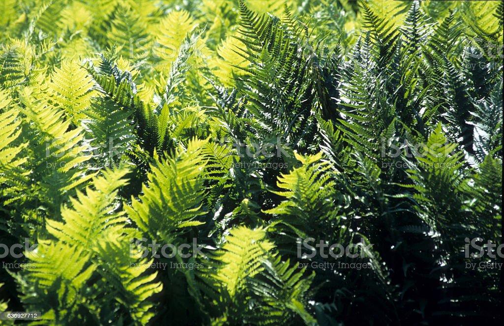 male fern( Dryopteris filix-mas ) stock photo