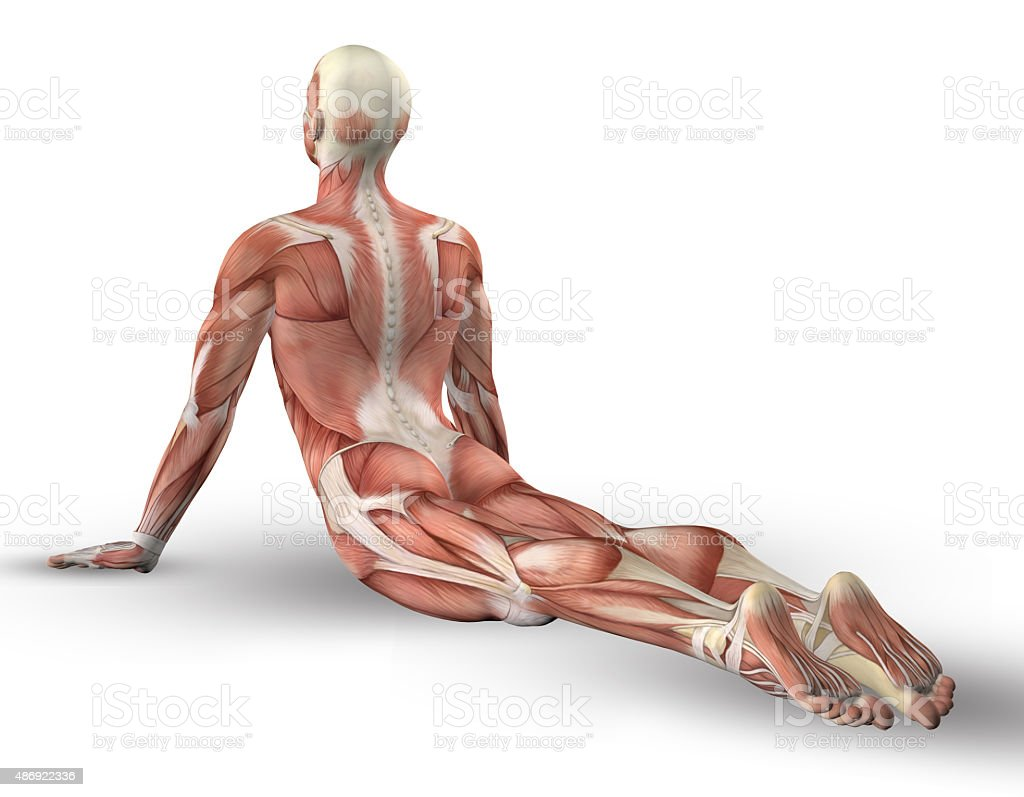 3D male figure with muscle map in yoga pose vector art illustration