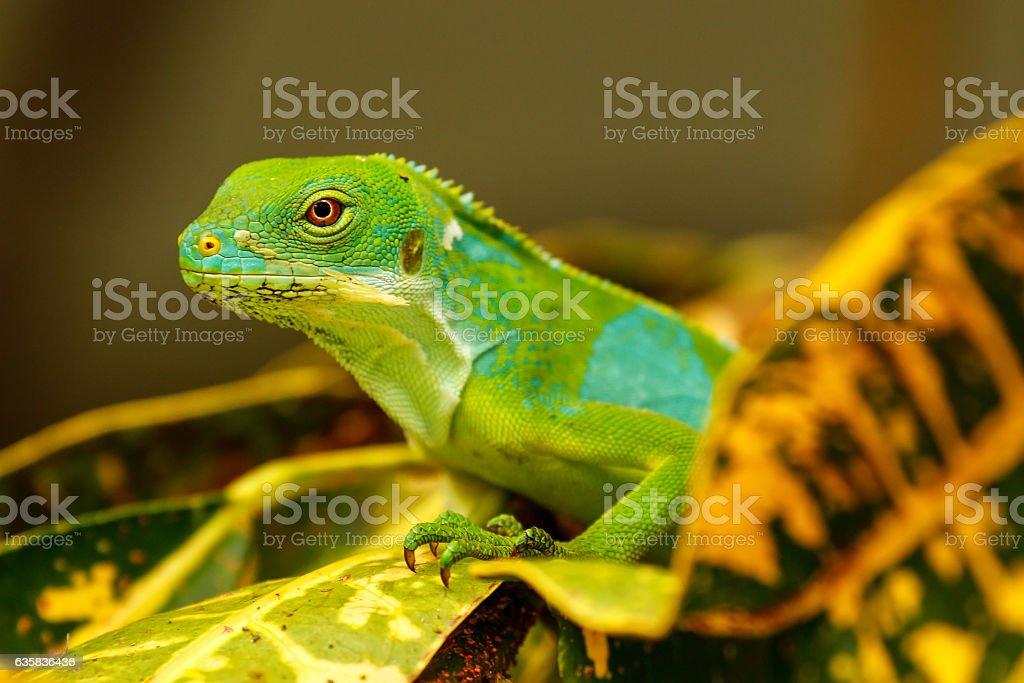 Male Fiji banded iguana (Brachylophus fasciatus) on Viti Levu Is stock photo
