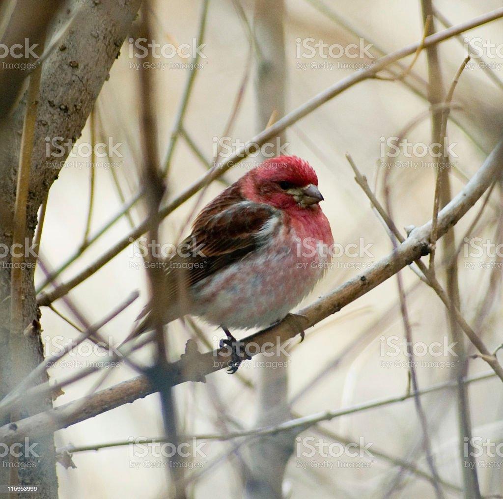 Male Finch stock photo