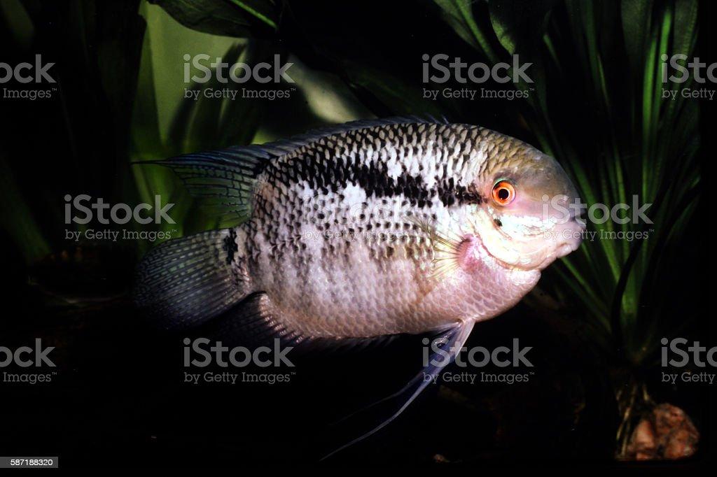 Male Flag Cichlid. Mesonauta festiva. stock photo