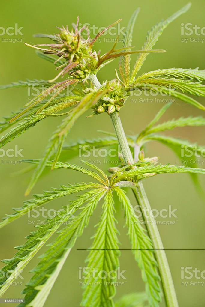 Male flowers Cannabis Ruderalis stock photo