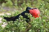 Male Frigatebird in Greenery