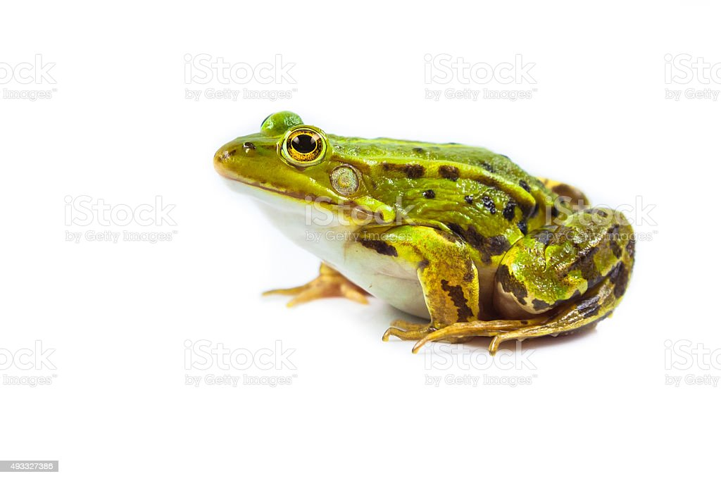 Male Frog on white stock photo