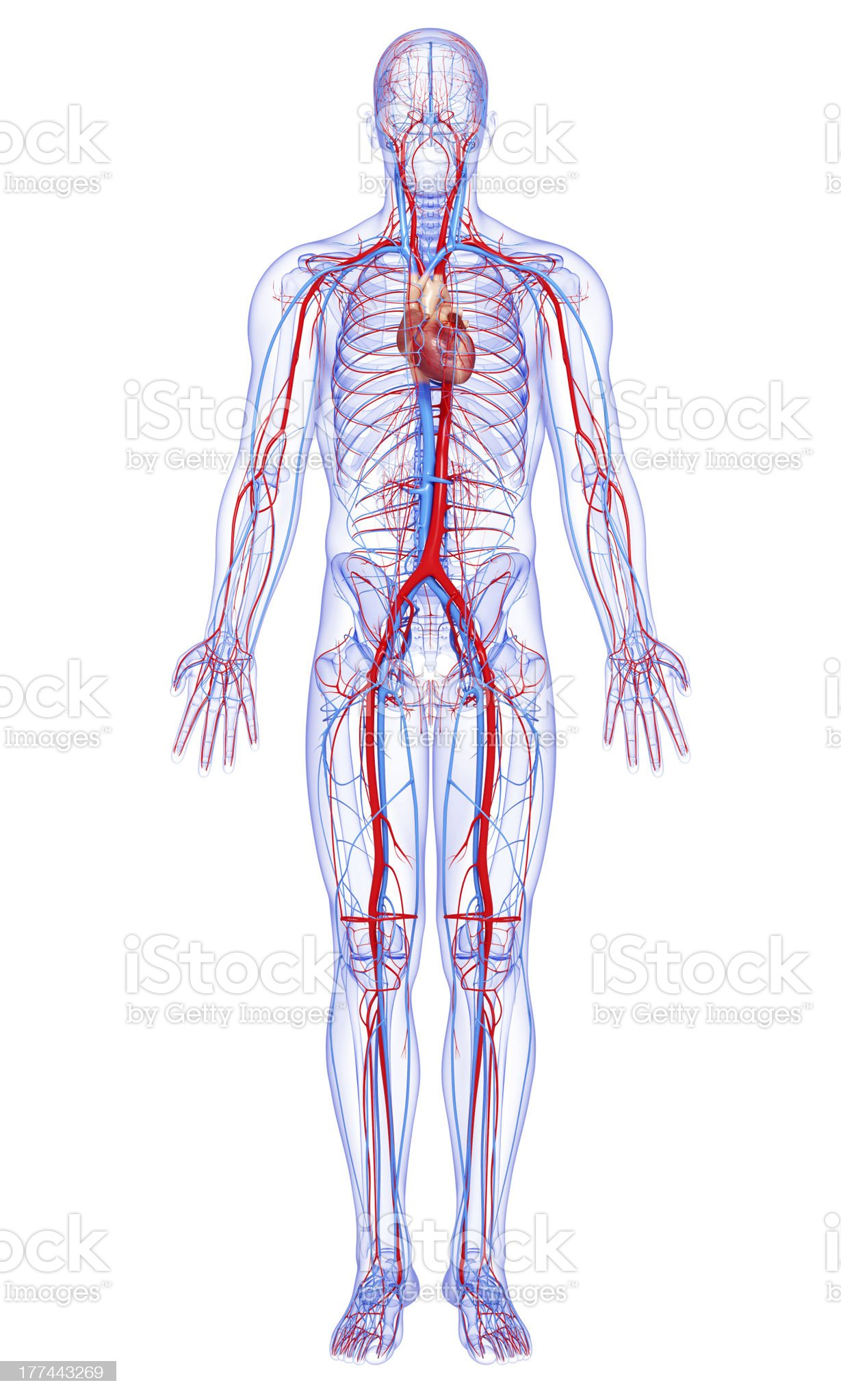 male full body circulatory system highlights heart royalty-free stock photo