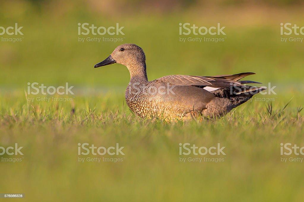 Male Gadwall standing in grassland stock photo
