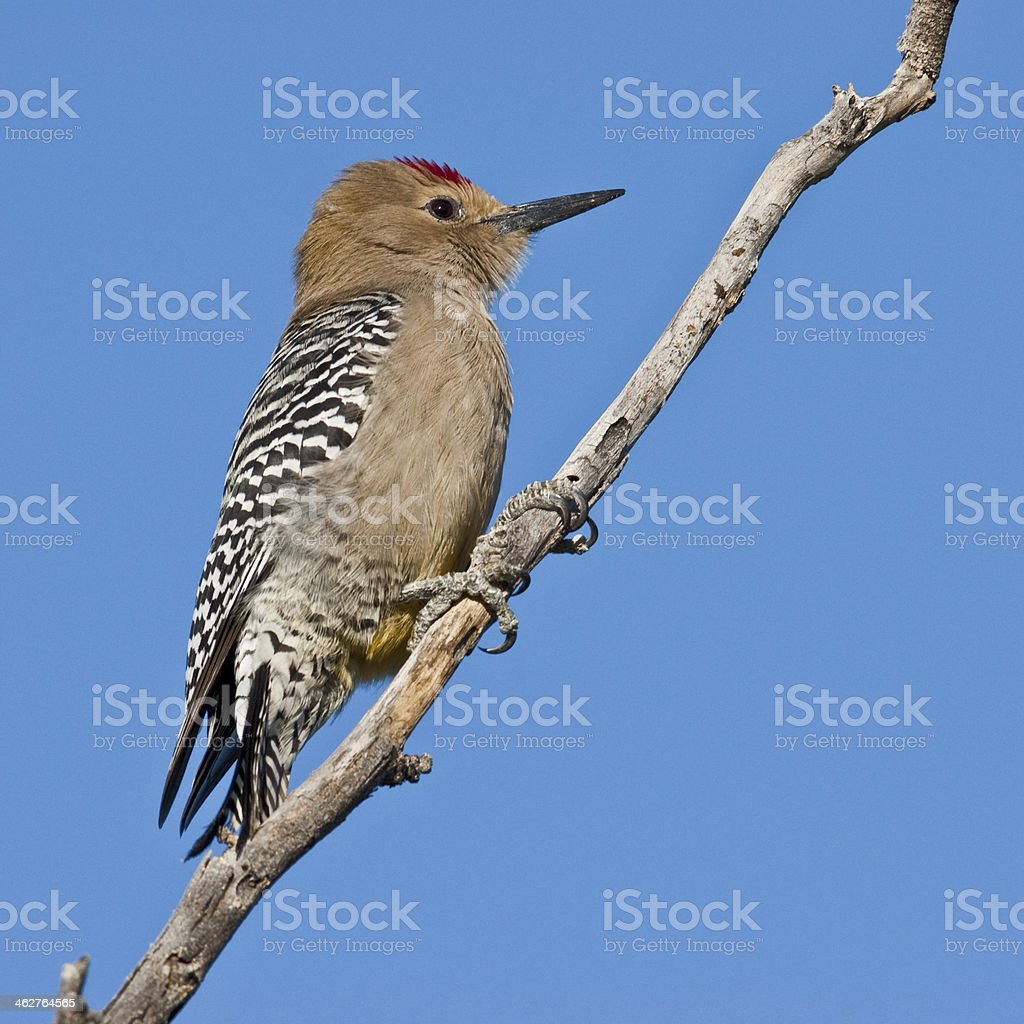 Male Gila Woodpecker royalty-free stock photo