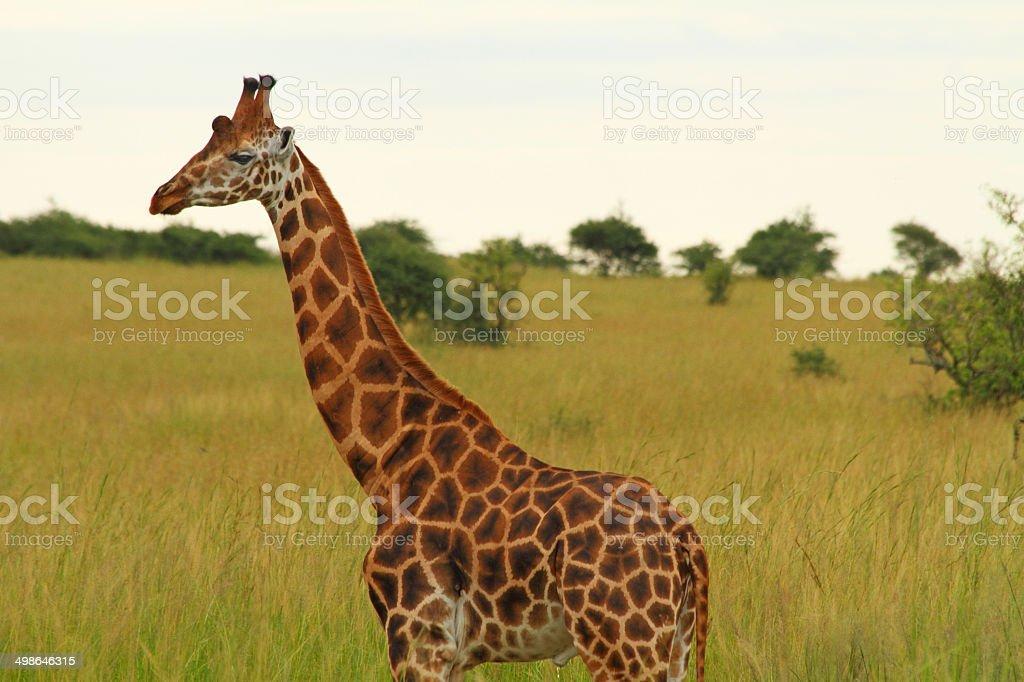 Male Giraffe Against Green Savannah stock photo