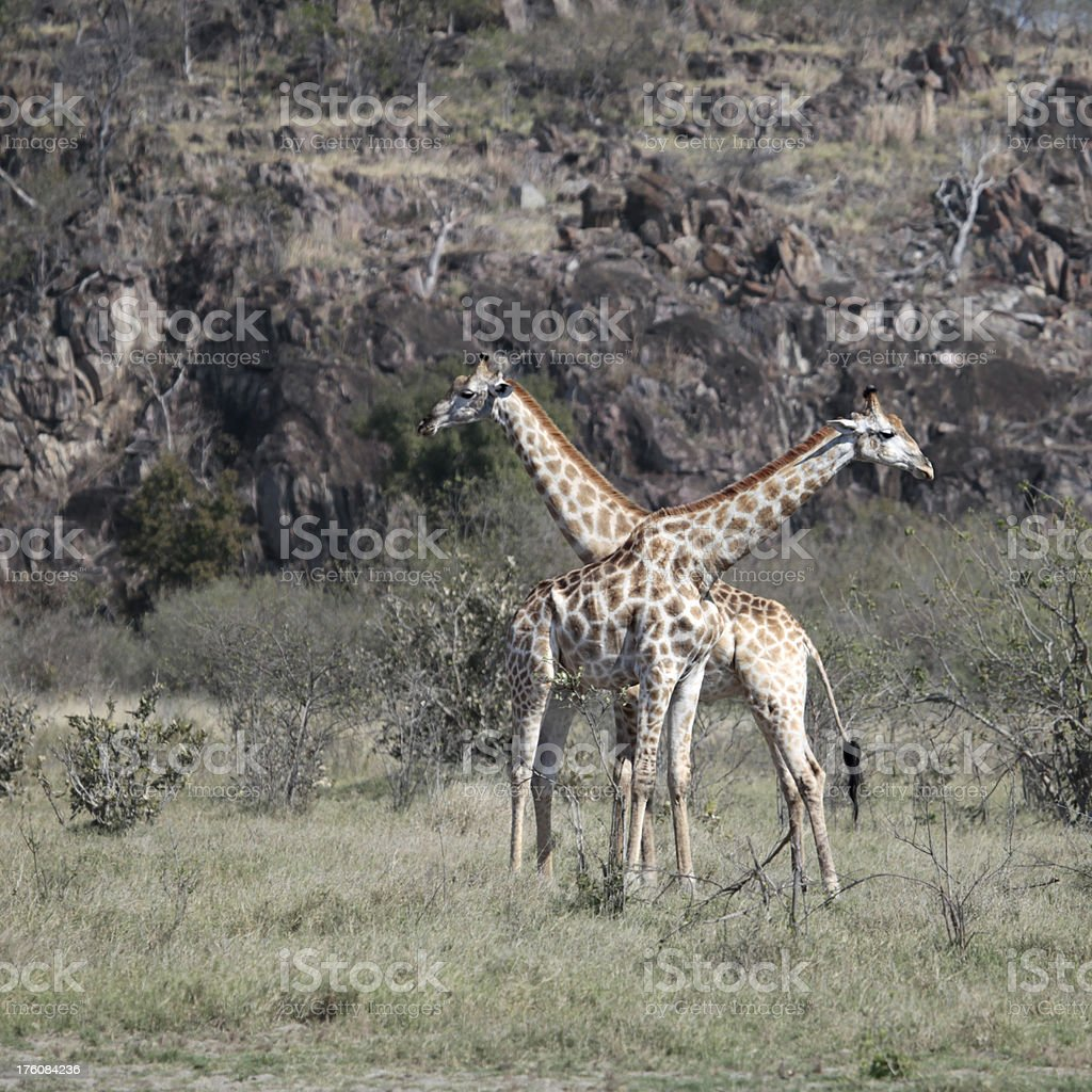Male Giraffes with necks crossed - 'at cross purposes' stock photo