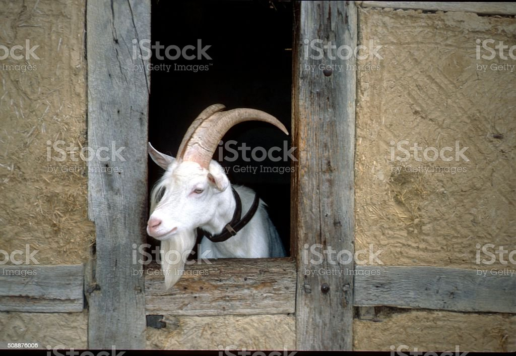 Male Goat looks out of the barn stock photo
