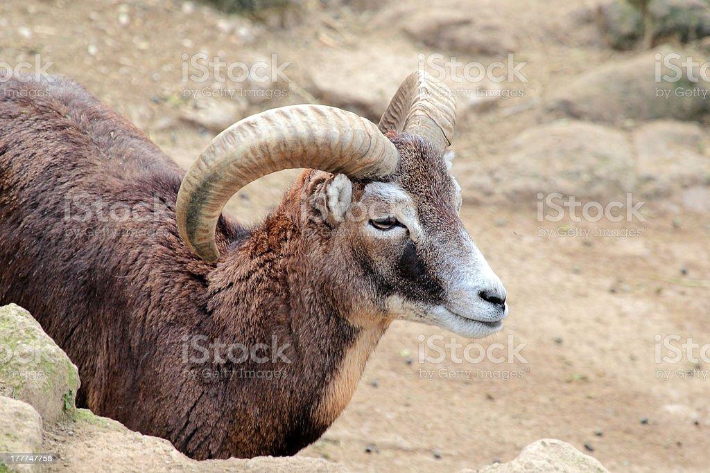 Male goat of Montecristo Island (Capra aegagrus hircus) royalty-free stock photo