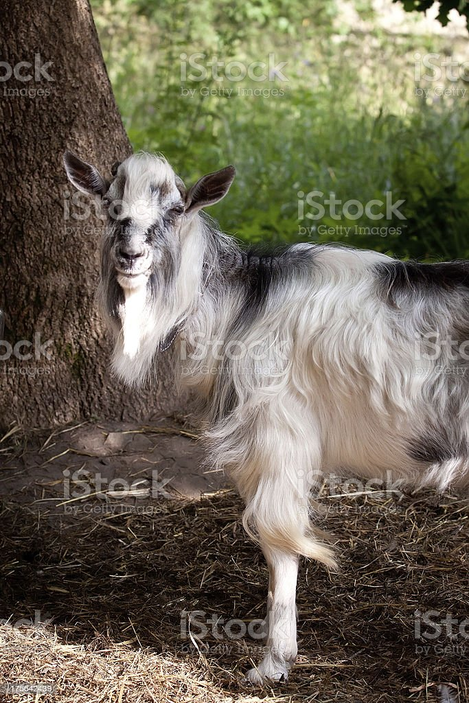 Male goat royalty-free stock photo