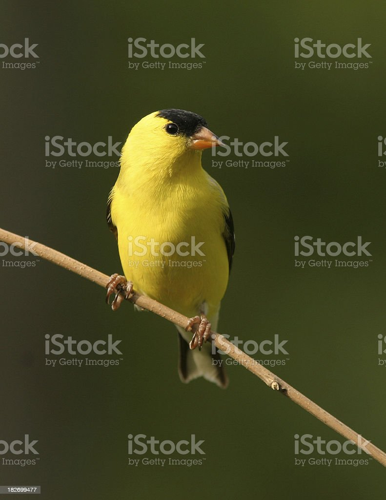Male Goldfinch royalty-free stock photo