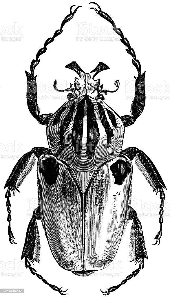 Male Goliath beetle stock photo