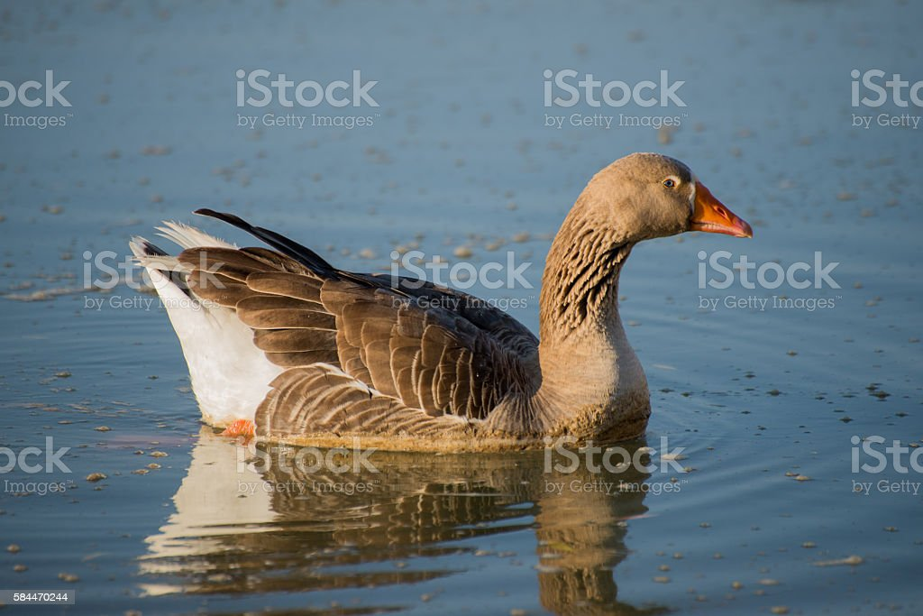 Male goose on river stock photo