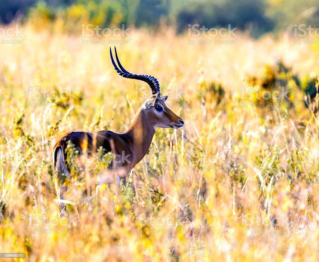 Male Grant's Gazelle stock photo