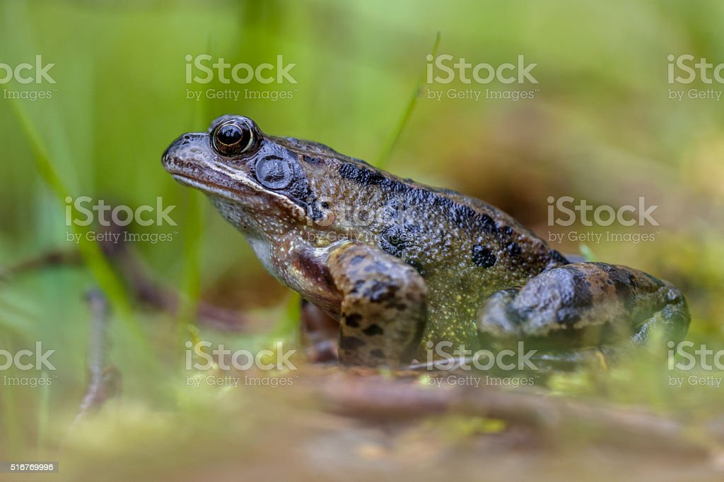 Male grass frog stock photo