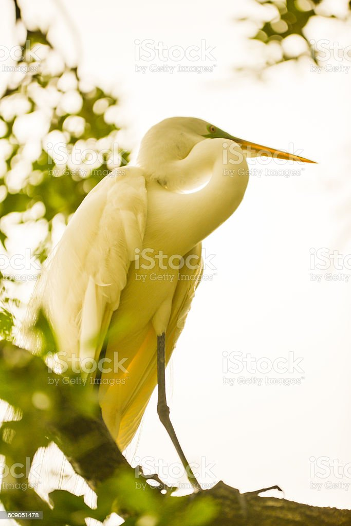 Male great egret during breeding season stock photo