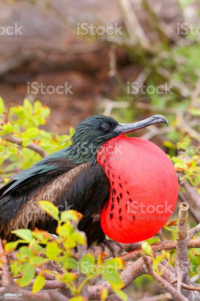 Male Great Frigatebird on Genovesa Island, Galapagos National Pa stock photo