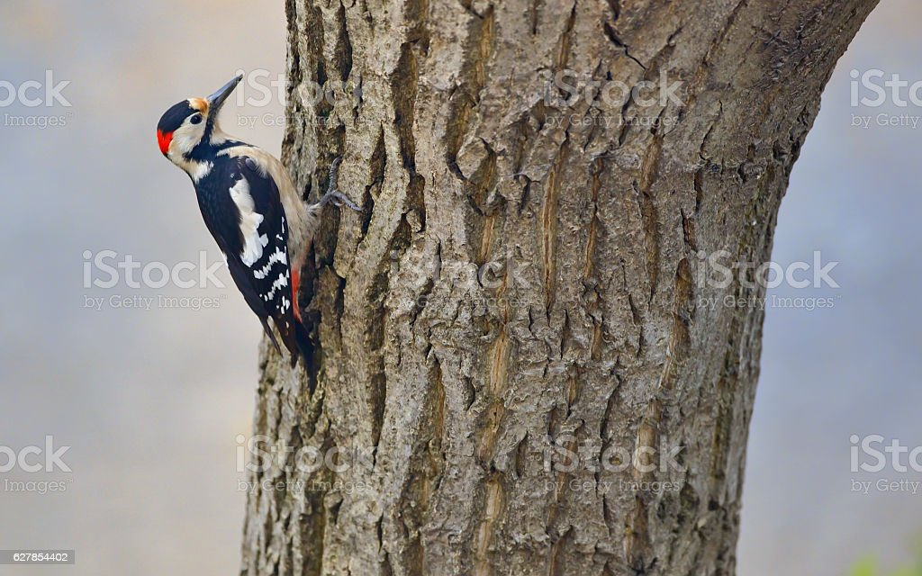 Male great spotted woodpecker (Dendrocopos major) stock photo