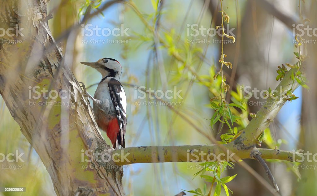 Male great spotted woodpecker stock photo