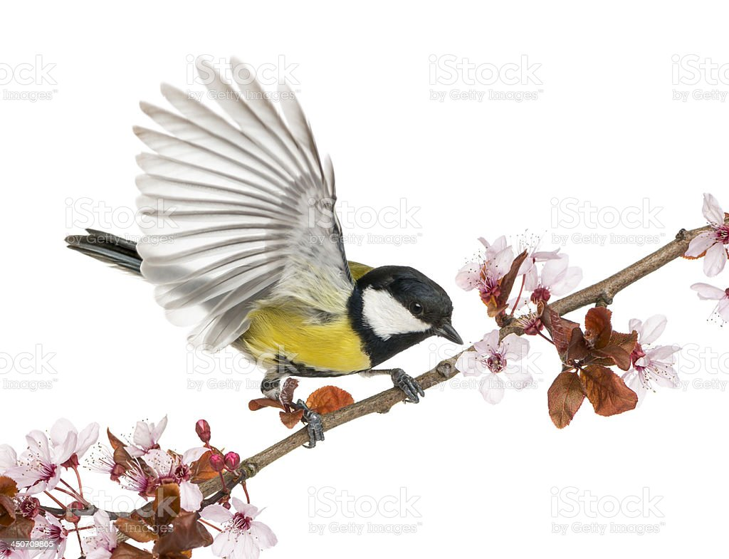 Male great tit taking off from a flowering branch stock photo