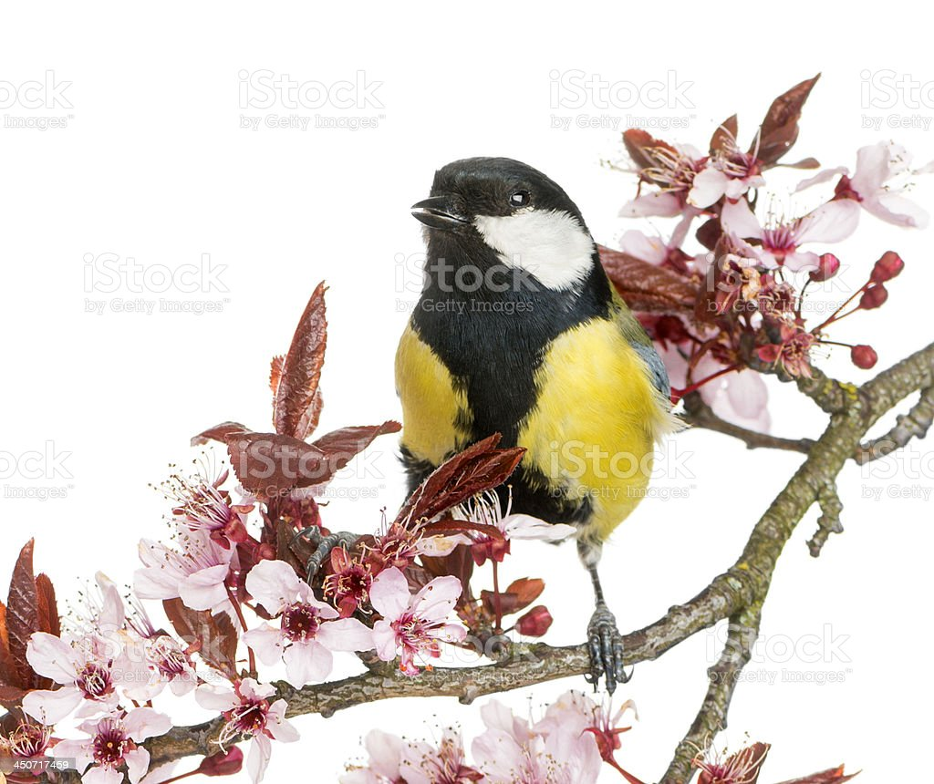 Male great tit tweeting, Parus major, isolated on white royalty-free stock photo