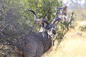 Male greater kudu in Savuti, Chobe National Park, Botswana
